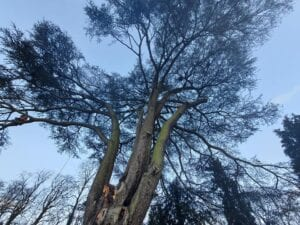 cedar tree removal in wolverhampton